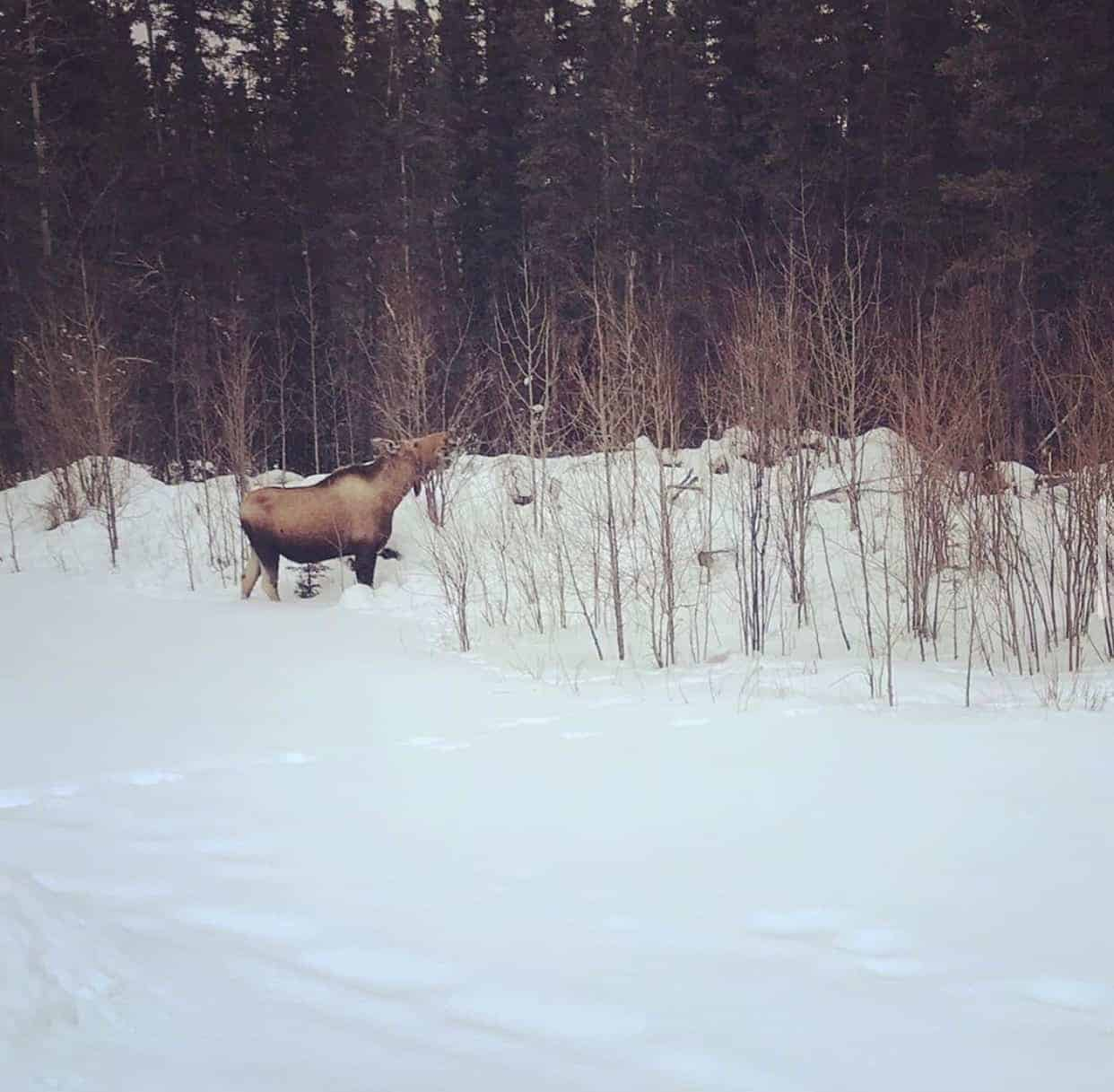 Alaska Moose in Winter